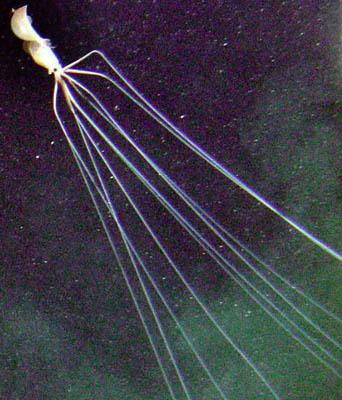 Image of Bigfin squid