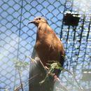 Image of Socorro Dove