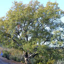 Image of Honeydew Oak