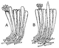 Image of <i>Panellus stipticus</i> (Bull.) P. Karst. 1879