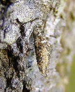 Image of <i>Dahlica triquetrella</i>