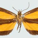Image of <i>Myonia mimica</i> Hering 1925