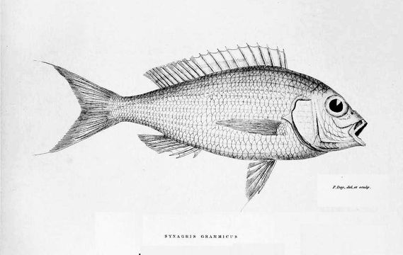 Image of Japanese threadfin bream