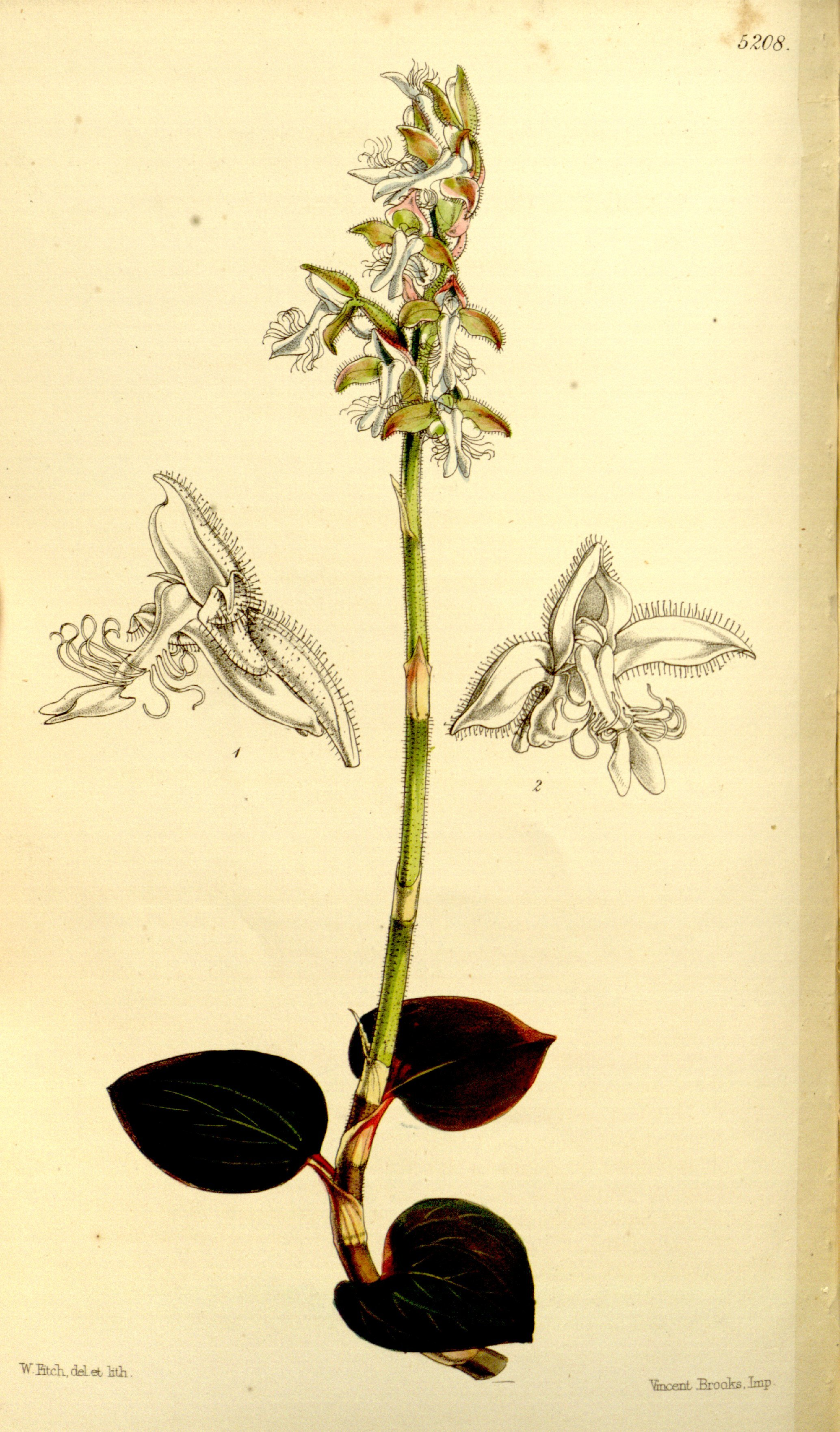 Image of Bristly Anoectochilus