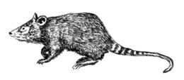 Image of shrew opossums
