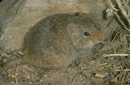 Image of Yellow-nosed Cotton Rat