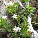 Image of <i>Asperula gunnii</i> Hook. fil.