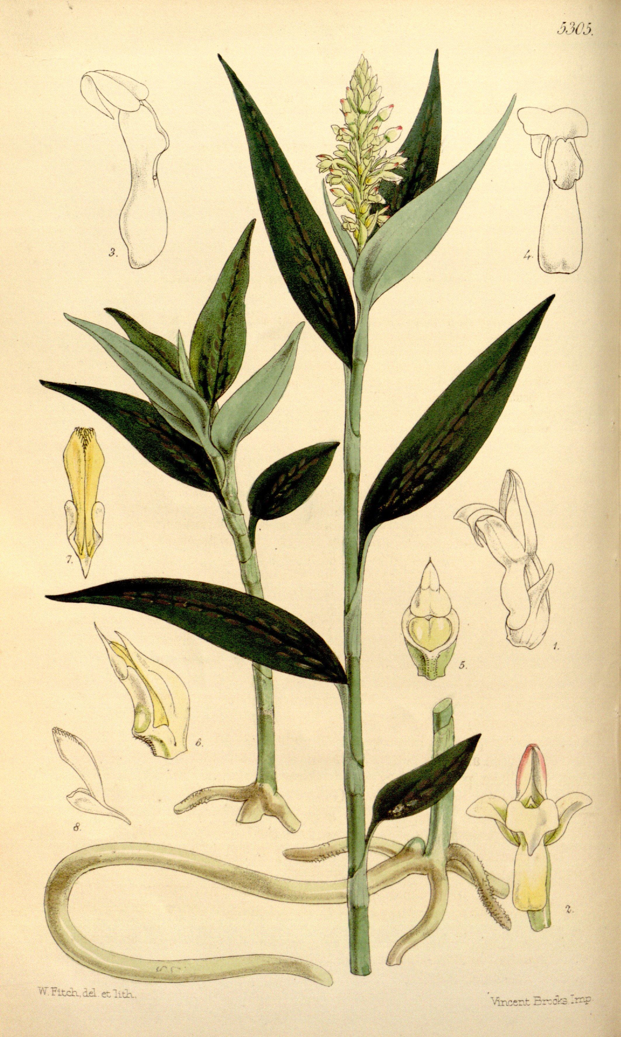 Image of platythelys