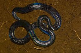 Image of Black Earth Snakes