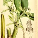 Image of <i>Coelogyne parishii</i> Hook. fil.