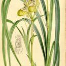Image of Reed grass-like Phragmipedium