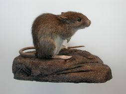 Image of <i>Rattus exulans</i> (Peale 1848)