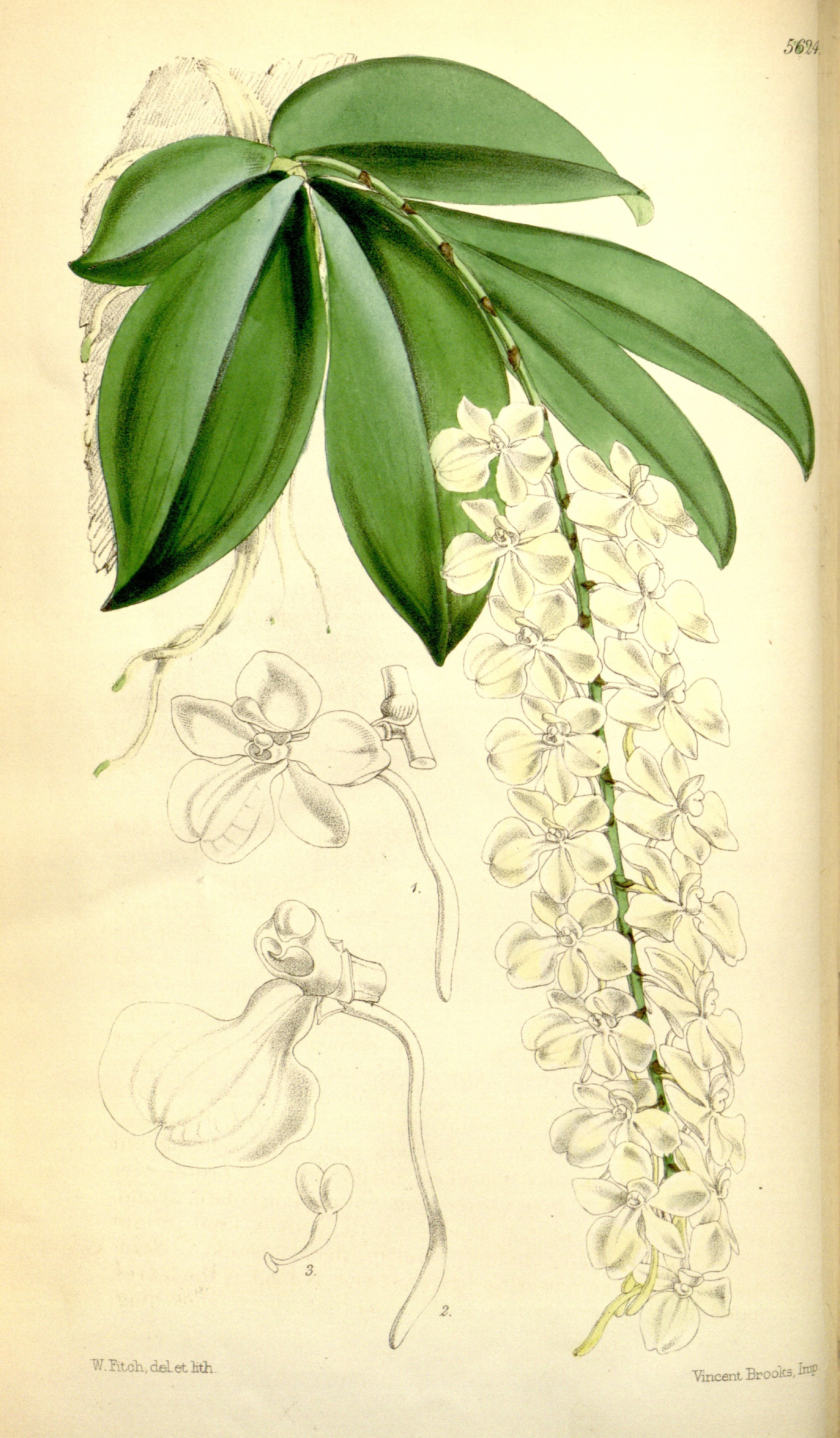 Image of <i>Aerangis citrata</i> (Thouars) Schltr.