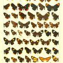 Image of <i>Melanis cinaron</i> (Felder & Felder 1861)