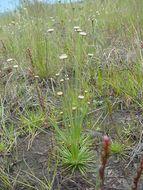Image of <i>Syngonanthus chrysanthus</i> (Bong.) Ruhland