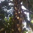 Image of Puerto Rico palmetto