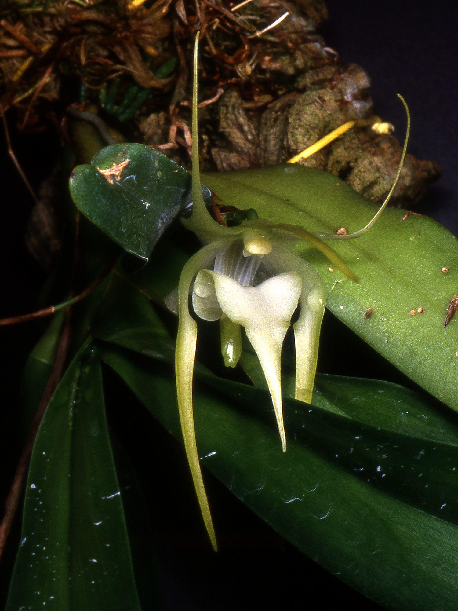 Image of <i>Aeranthes grandiflora</i> Lindl.