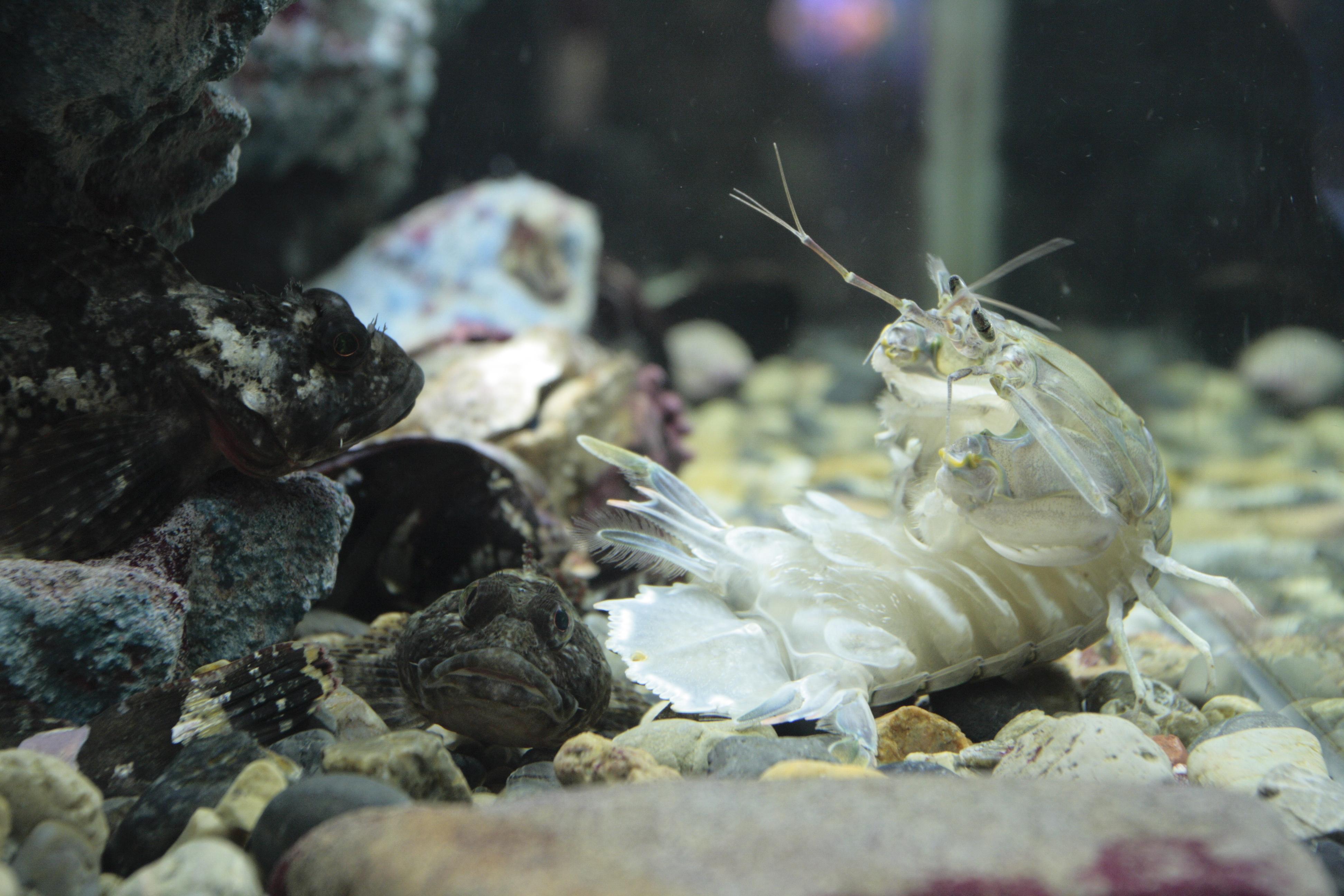 Image of Mantis shrimp
