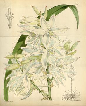 Image of weak-leaf yucca
