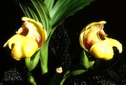 Image of Tulip orchids