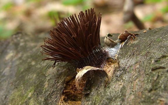 Image of Stemonitis