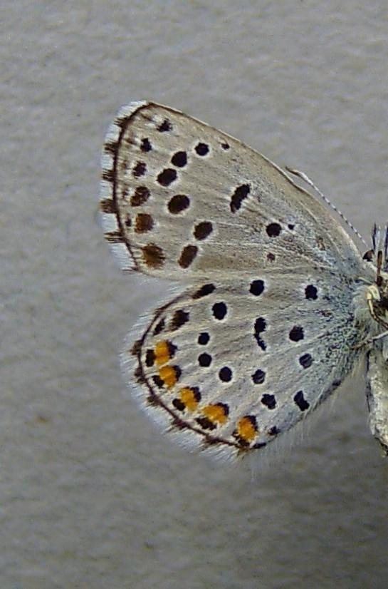 Image of <i>Pseudophilotes vicrama</i>