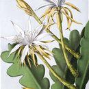 Image of Fishbone Cactus