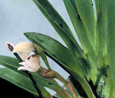 Image of <i>Angraecum cadetii</i> Bosser