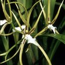Image of brassia