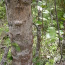 Image of <i>Lomatia hirsuta</i> (Lam.) Diels