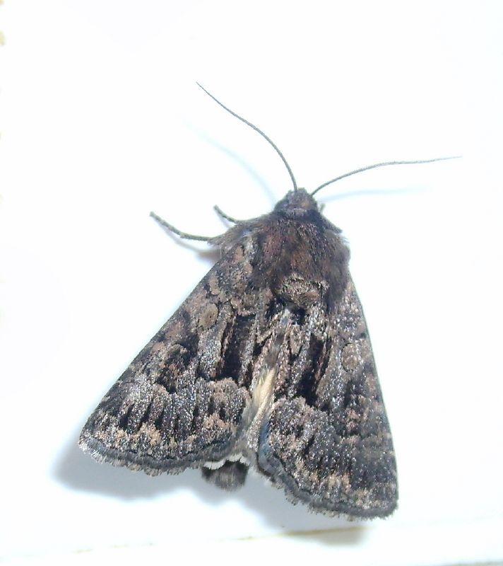 Image of <i>Mniotype adusta</i>
