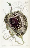Image of Dutchmans Pipe