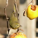 Image of Orange-crowned Warbler