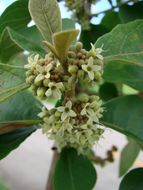 Image of <i>Aegiphila lhotskiana</i>