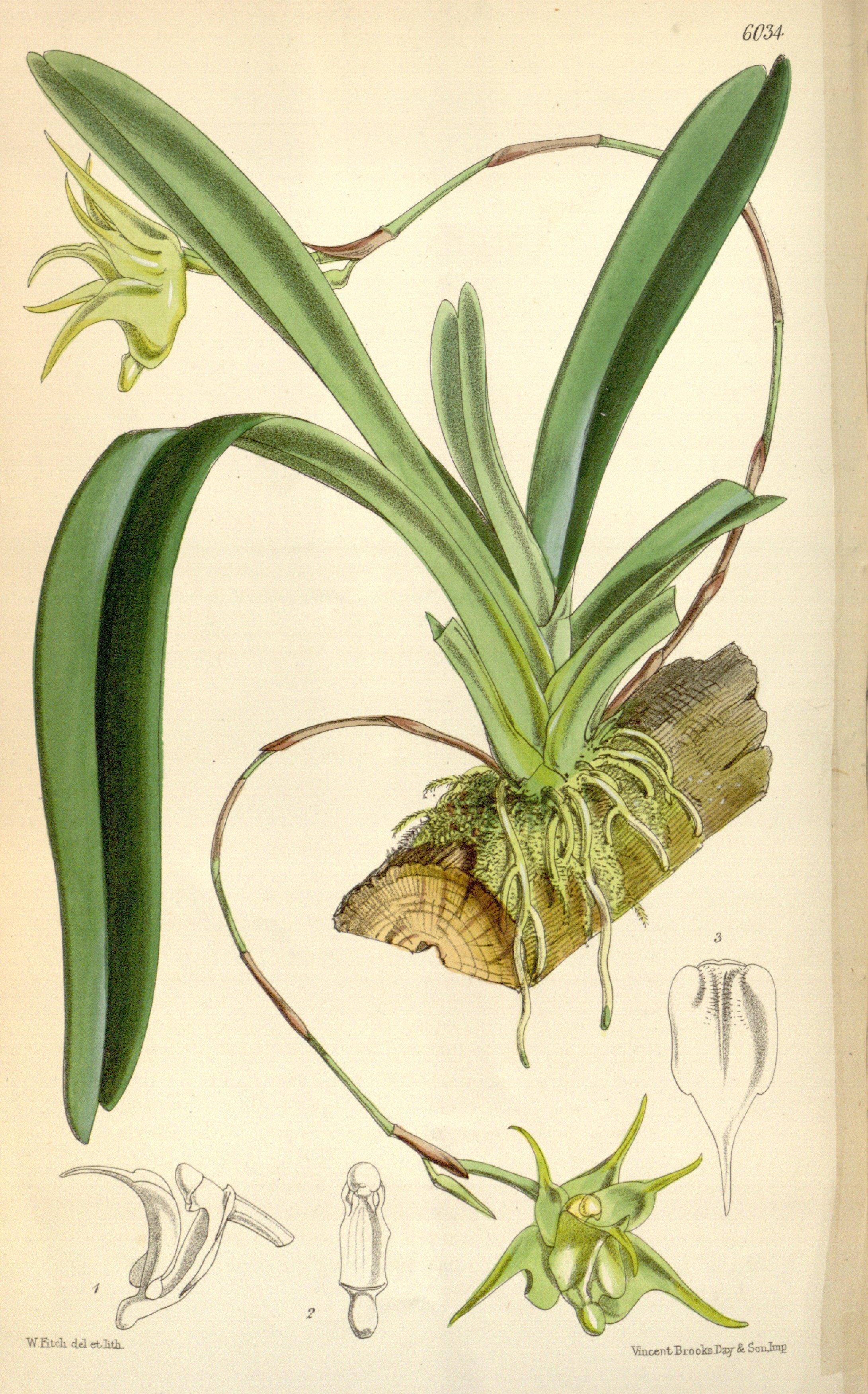 Image of <i>Aeranthes arachnites</i> (Thouars) Lindl.