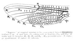 Image of Relict Himalayan Dragonfly