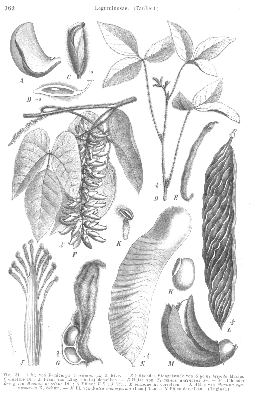Image of Phaseoleae