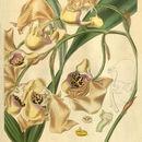 Image of <i>Coryanthes maculata</i> Hook.
