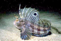 Image of Butterfly Blenny
