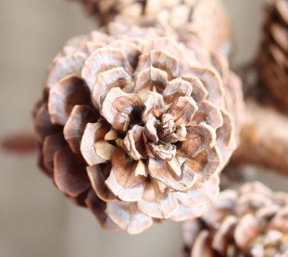 Image of Montezuma Pine