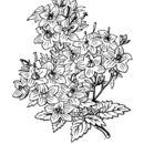 Image of <i>Campanula isophylla</i> Moretti