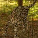 Image of Arabian leopard
