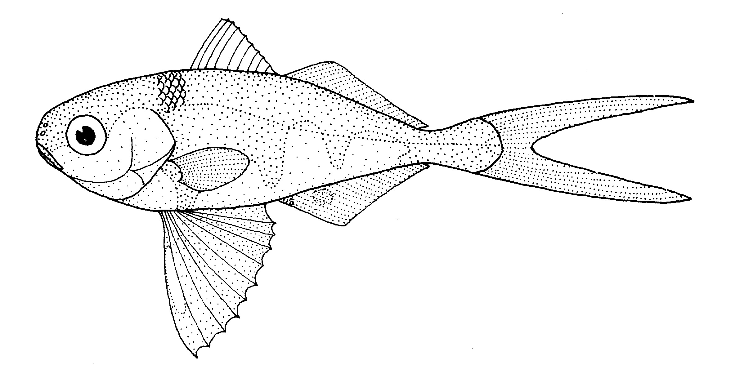 Image of Man-of-war Fish