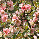 Image of flowering quince