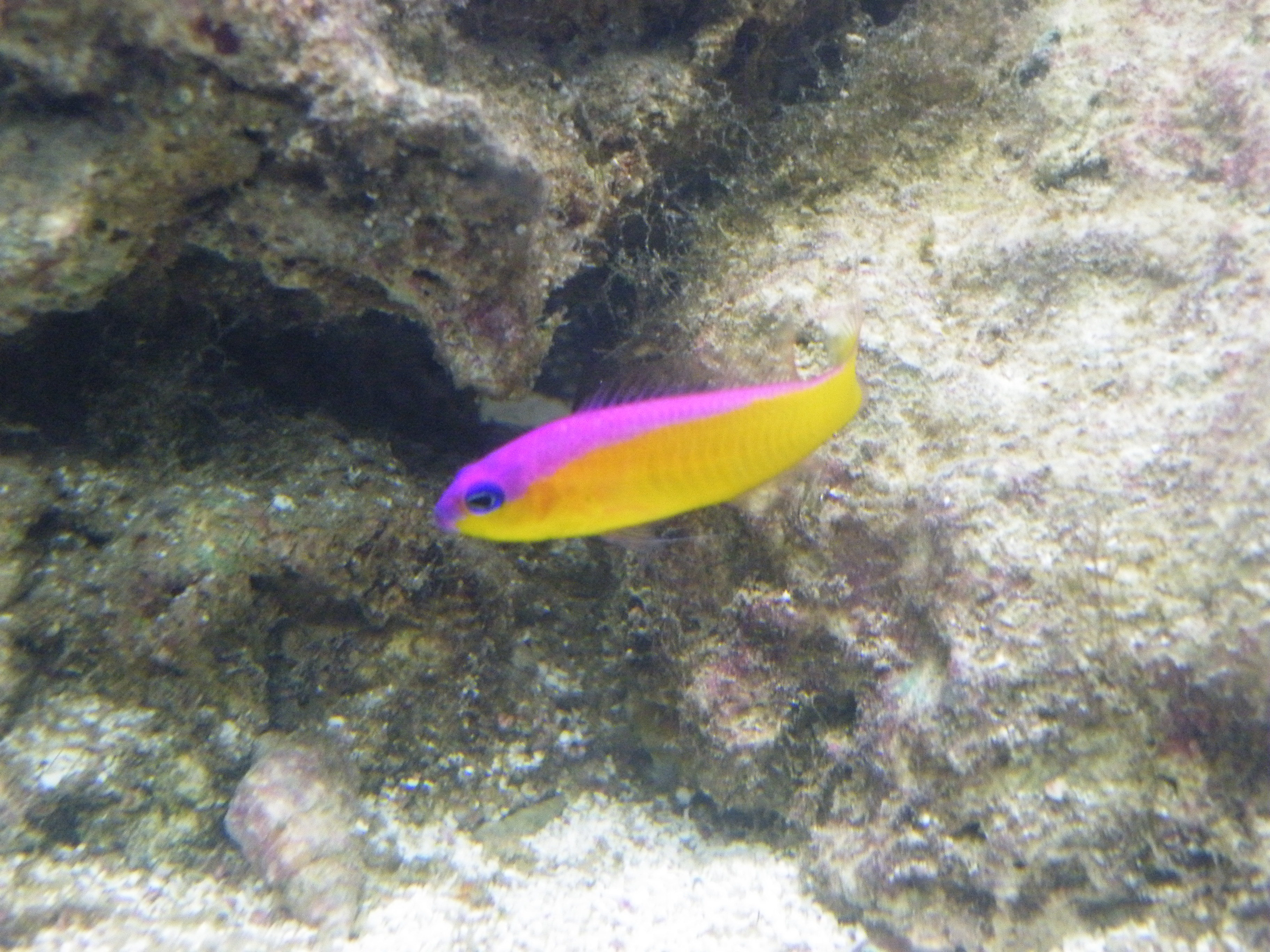 Image of Diadem dottyback