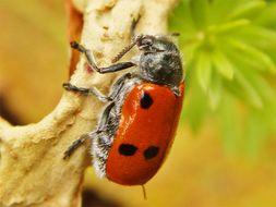 Image of <i>Lachnaia paradoxa</i>