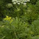 Image of <i>Heracleum persicum</i> Desf.