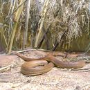 Image of inland taipan