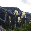 Image of <i>Iris orjenii</i> Bräuchler & Cikovac