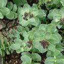 Image of redpod stonecrop